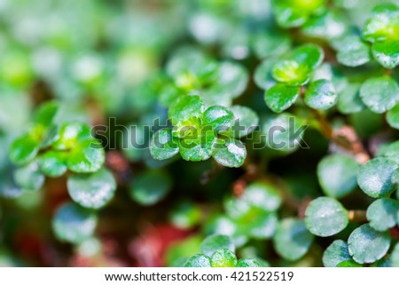 Close-up of succulent ornamental plant  - stock photo