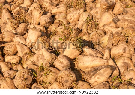 Close-up of sugar beets in a heap in the sun waiting for the conveyor - stock photo