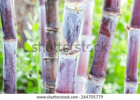 close up of Sugarcane for sugar - stock photo