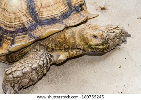 Close Up of Sulcata Tortoise, Thailand
