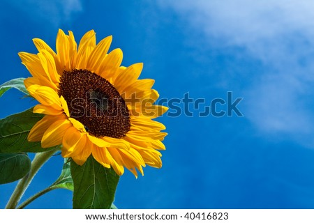 Close-up of sun flower against a blue sky - stock photo