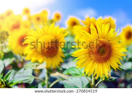 Close-up of sun flower against a blue sky of summer - stock photo