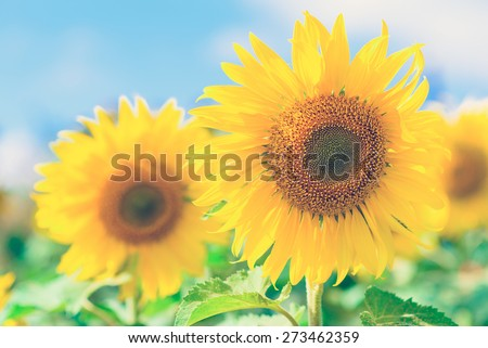 Close-up of sun flower against a blue sky of summer