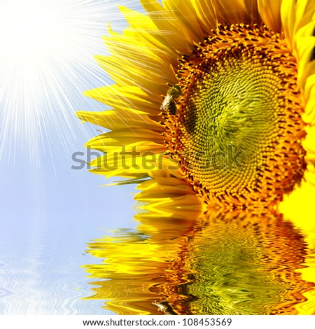 Close-up of sun flower on the san set background reflecting in water - stock photo