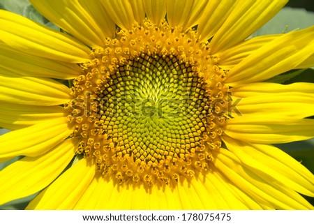 Close-up of sunflower - stock photo