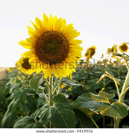 Close up of sunflower growing in field of sunflowers. - stock photo