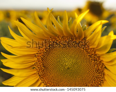 Close up of sunflower in bloom.