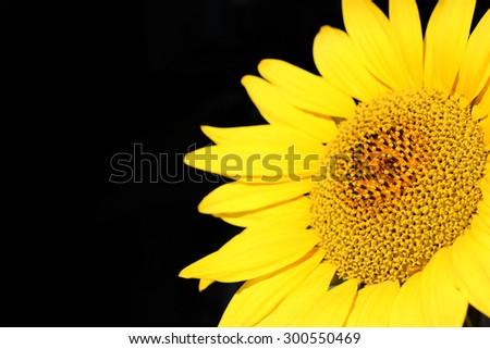 Close up of Sunflower on Black Background - stock photo