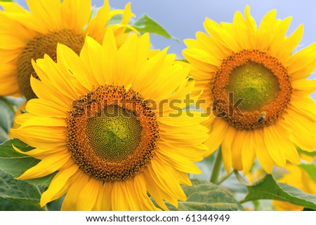 Close up of sunflowers on a gray cloudy day.