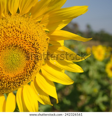 Close-up of sunflowers on field - stock photo