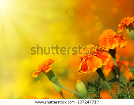 Close-up of  tagetes flower.Summer background. - stock photo