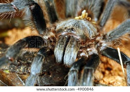 Close up of tarantula head - stock photo
