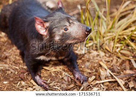 Close up of Tasmanian Devil(Sarcophilus harrisii) a carnivorous marsupial now found in the wild only on the Australian island state of Tasmania. - stock photo