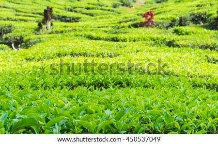 Close up of tea plantations near Cameron Valley, Cameron Highlands, Malaysia. - stock photo