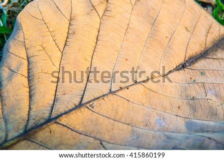 Close up of teak leaf, Thailand - stock photo