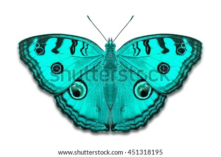 Close up of teal color Peacock Pansy (Junonia almana) butterflies, isolated on white background with clipping path - stock photo