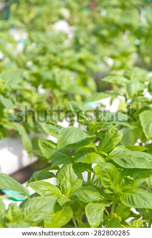 close up of Thai basil leaf - stock photo