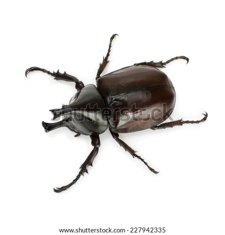 Close up of thai rhinoceros beetle wilderness isolated on a white background