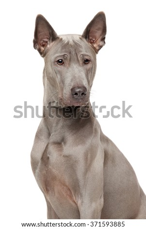 Close-up of Thai Ridgeback dog isolated on a white background - stock photo