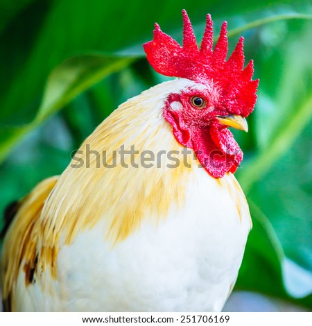 close up of thai white bantam - stock photo