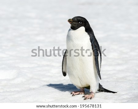 Close up of the Adelie penguins (Pygoscelis adeliae) on the snow - stock photo