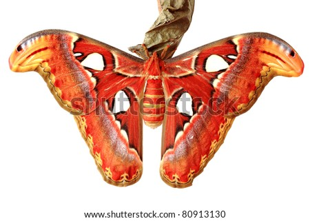 Close up of the attacus atlas butterfly on white isolated background. - stock photo