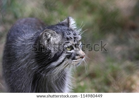 Close-up of the beautiful but wild Pallas cat from Asia - stock photo