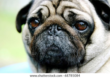 Close up of the beautiful wrinkles of a pug dog - stock photo