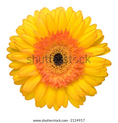 Close up of the beautiful yellow daisy