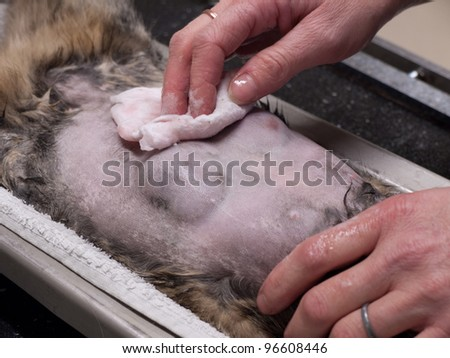 Close up of the belly before an operation on a cat with breast cancer - stock photo