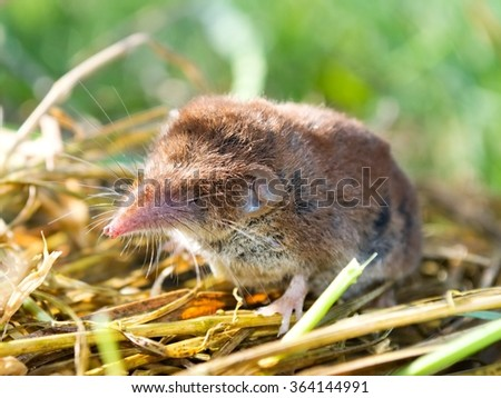 Close up of the bicolored shrew in a nature - stock photo