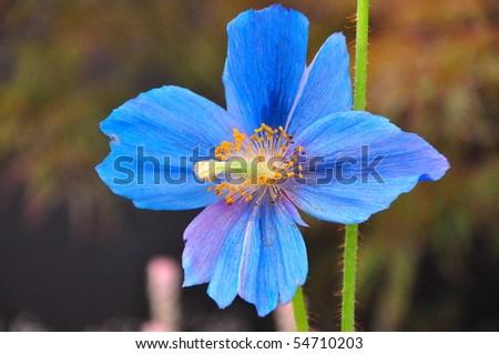 Close up of The Blue Poppy, Meconopsis Sheldonnii - stock photo