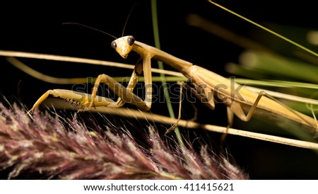 Close up of the brown mantis on the grass