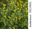 Close-up of the buds of German chamomile at a blurred background - stock photo