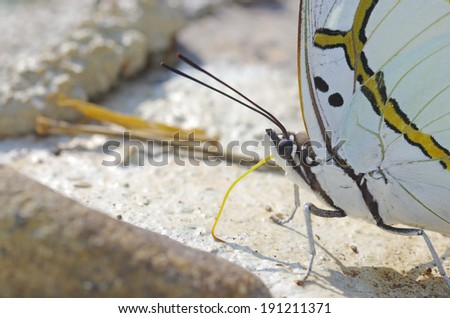 close up of the butterfly use the proboscis consuming the mineral on the floor - stock photo