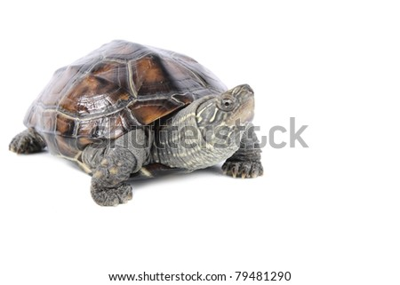 close up of the cautious tortoise - stock photo