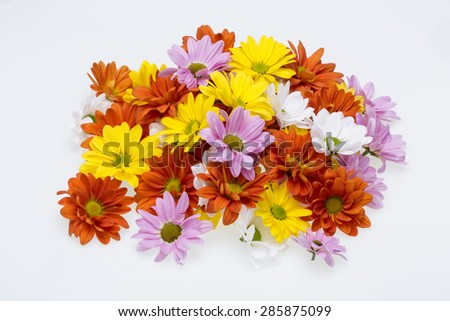 Close up of the colorful chrysanthemum flowers - stock photo