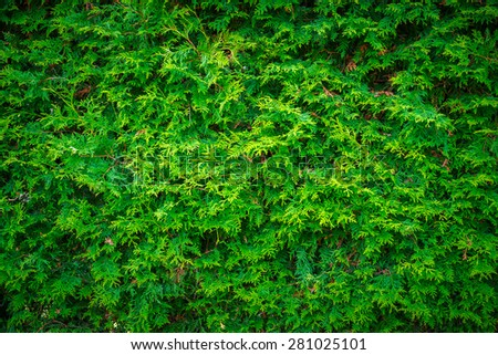 Close-up of the deep, rich green leaves of a cedar hedge wall, useful as a background image. - stock photo