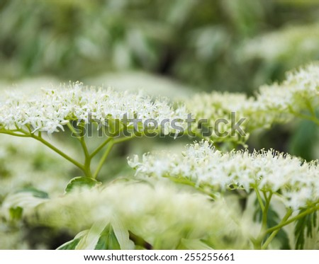 Close up of the dogwood white flowers. - stock photo