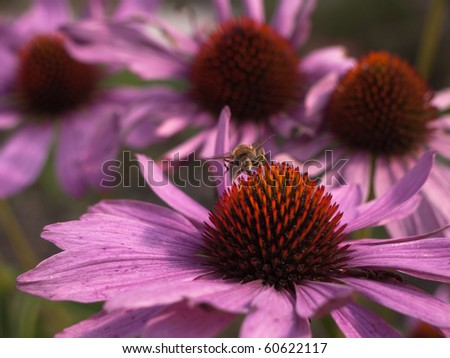 Close-up of the Eastern Purple Coneflower with a fly - stock photo