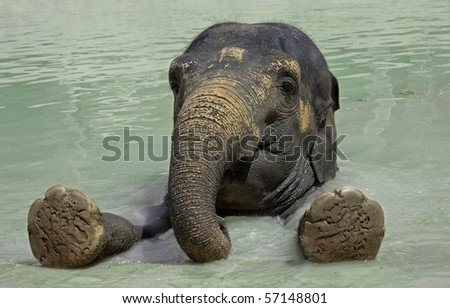 Close up of the elephant swimming  in a zoo pool - stock photo
