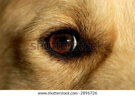 Close-up of the eye of a male golden retriever