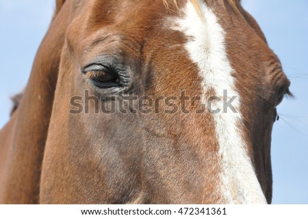 Close-up of the face of a brown Quarter horse mare with a blaze