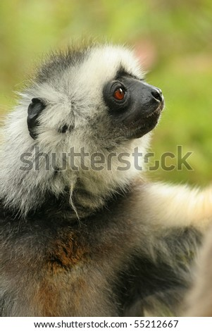 close-up of the face of a Lemur - stock photo