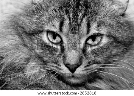 Close-up of the face of a tabby cat in black and white