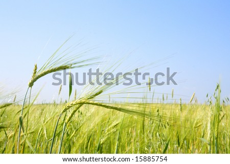 Close-up of the field with green oats