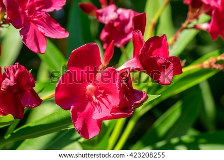 Close-up of the flowers of a pink oleander. Rhodes, Greece - stock photo