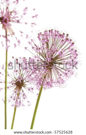 Close up of the flowers of some Chives - stock photo