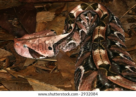 Close-up of the Gaboon Viper (Bitis Gabonica) showing it's Camouflage patterns. - stock photo