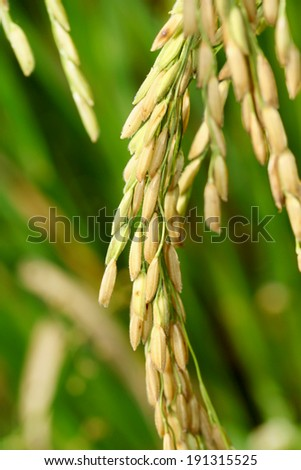 Close up of the grain rice in rice field. - stock photo